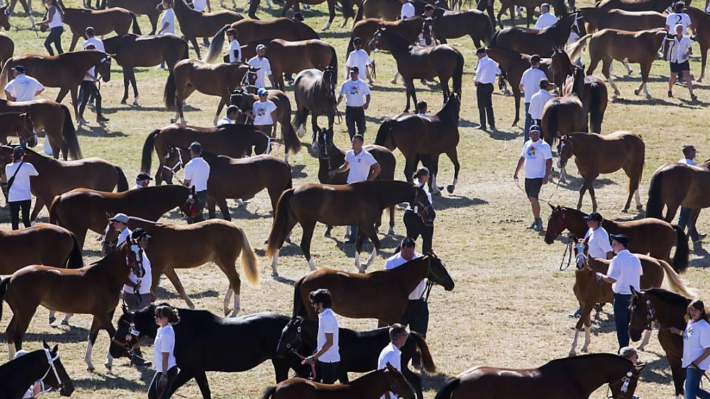 Der Ständerat will einheimische Nutztierrassen stärker fördern. Im Bild Freiberger Pferde am Marché Concours in Saignelégier. (Archivbild)