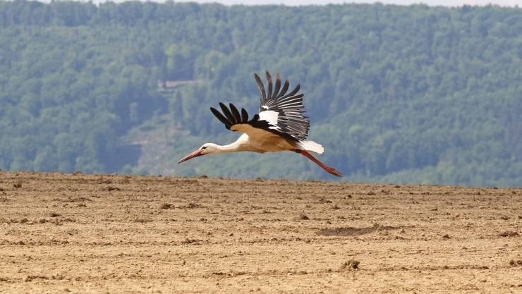 Brislach - Perfektes Ausflugswetter über die Feiertage: Storch über dem Laufental.