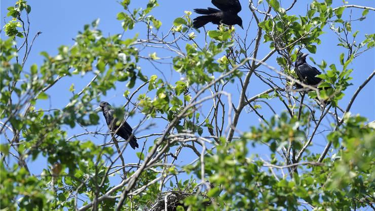 Auf den Bäumen neben dem Hôtel de Ville haben sich Saatkrähen niedergelassen, gut zu erkennen an ihren hellen Schnäbeln.