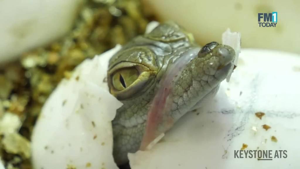 Hier wird ein Krokodilbaby aus dem Ei geschält