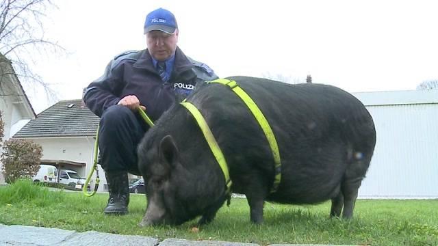 Aprilscherz: Repol Lenzburg testet Spürschwein