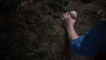 Im Wald südlich der Autobahn, zwischen Rheinfelden, Magden und Olsberg werden rege Pilze gesammelt. (Symbolbild)