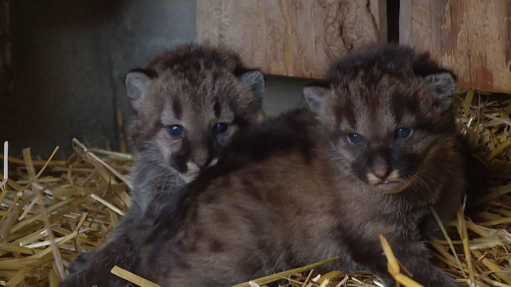 Knuffiger Puma-Nachwuchs im Plättli Zoo: So süss sind Dana und Sigi