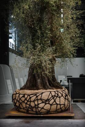Wer die Täfelchen liest, erfährt, dass diese Bäume zwischen 300 und 700 Jahre alt sind.