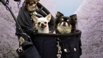 Mehrere Chihuahuas in einem Kinderwagen - im britischen Birmingham soll ein Paar über 80 Chihuahuas in seinem Privathaus angesammelt haben. (Symbolbild)