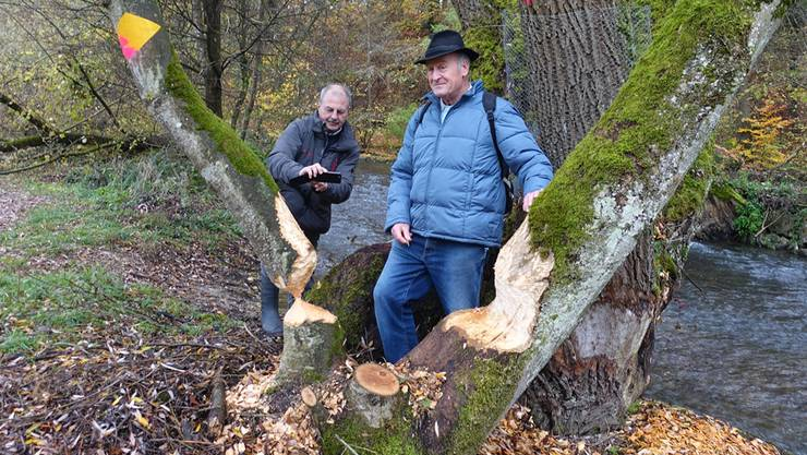 Frank Haemmerli und Willi Bürgi begutachten die Spuren des Bibers.