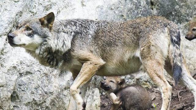 Ein Wolf (Archiv)
