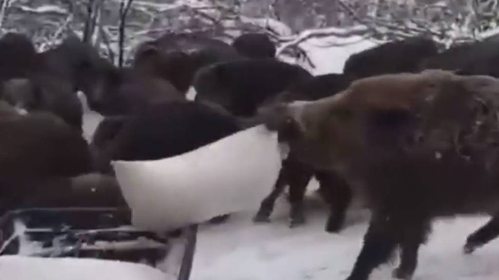 Versautes Buffet: Wildschweine reissen sich um Futter