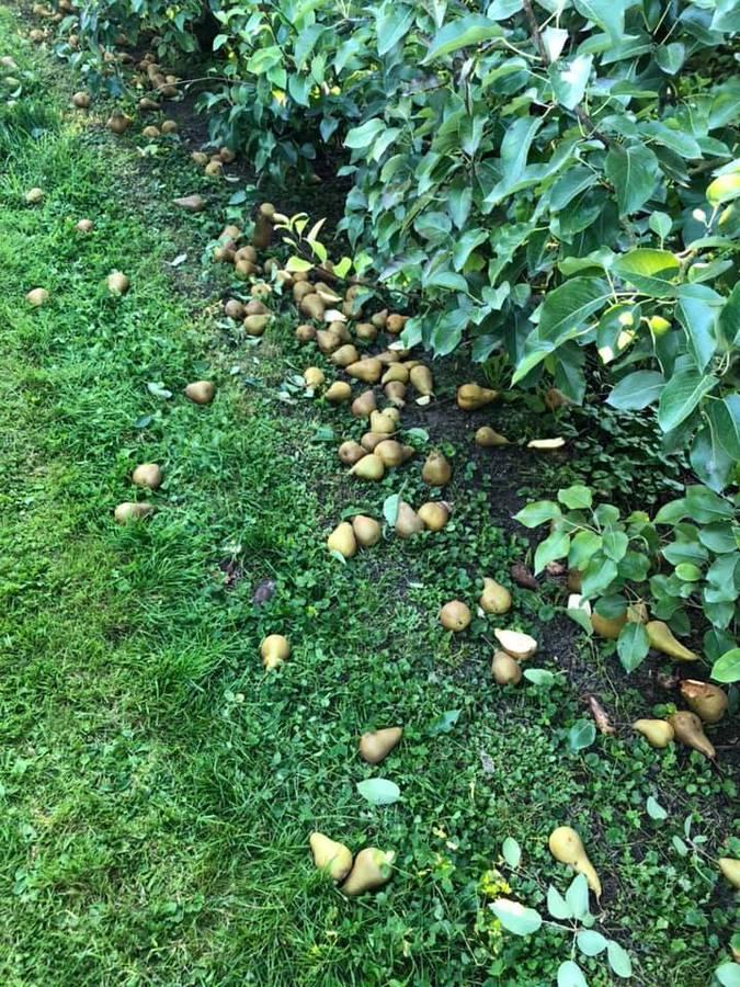 Die Birnen können auf seinem Hof in Weinfelden geholt werden. (© Facebook/Manuel Strupler)