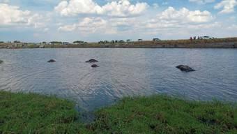 Büffel ertrinken in Botsuana