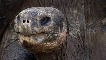 Riesenschildktöte wurde 146 Jahre alt (Symbolbild)
