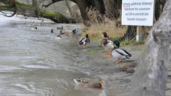 Diesen Enten stört der erhöhte Wasserstand in Aarau kaum. Sie werden schliesslich auf die gefährliche Strömung hingewiesen.