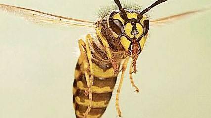 Wenn eine Wespe anfliegt gilt: Ruhe bewahren. Sprühwasser mögen sie nicht.
