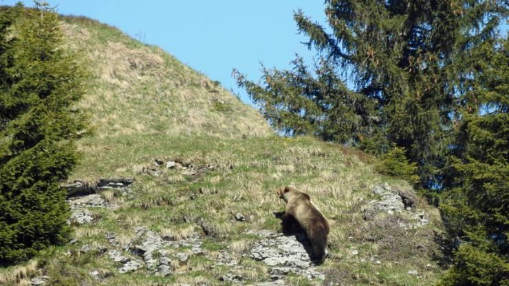 Bär M29 am 26. Mai 2017 im Eriz. Das Foto sorgte für Furore, weil es der erste Nachweis eines wilden Bären im Kanton Bern seit 190 Jahren war. Vermutlich war er am Wochenende auch im Sanetschgebiet (VS) unterwegs