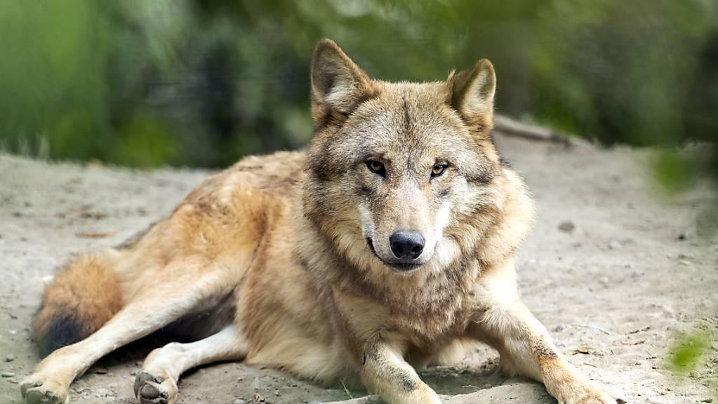 Ein Wolf im Zürcher Zoo, aufgenommen im September 2020.