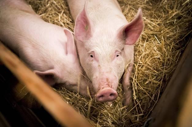 Da leben sie noch, die beiden Schweine.