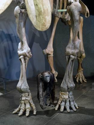 Bei Testaufnahmen für ein Buchprojekt über Tierpräparate des Museums stellte Jürg Stauffer den Schimpansen Jacky zwischen die Beine des Mammuts
