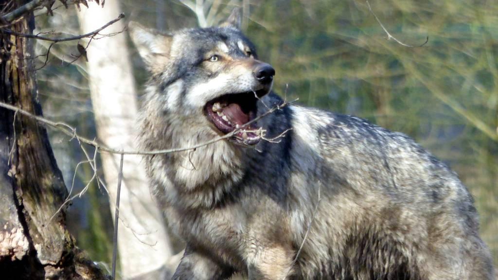 Zwei Schafe gerissen: Rissbild deutet auf Wolf oder Luchs hin