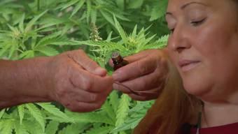 Cannabis mit dem eigentlich illegalen Inhaltsstoff THC wird in der Medizin immer häufiger zur Schmerzbehandlung eingesetzt.