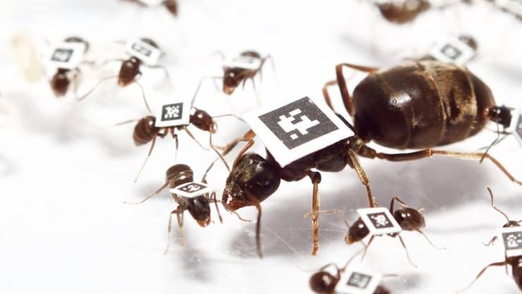 Königin und Arbeiterinnen mit QR-Codes: Dank dieser Markierung konnten Forschende das Verhalten jeder einzelnen Ameise eines Staates nachvollziehen.