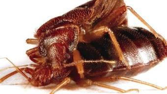 Bei der Paarung durchsticht das Bettwanzen-Männchen den Leib des Weibchens. Erbgutanalysen geben nun darüber Aufschluss, wie sich die Tiere evolutiv an diesen brutalen Akt angepasst haben.