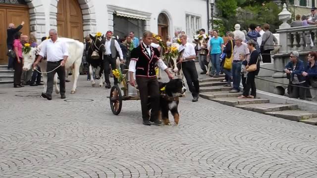 Alpabzug mit 16 Kühen am 5. Solothurner Chästag