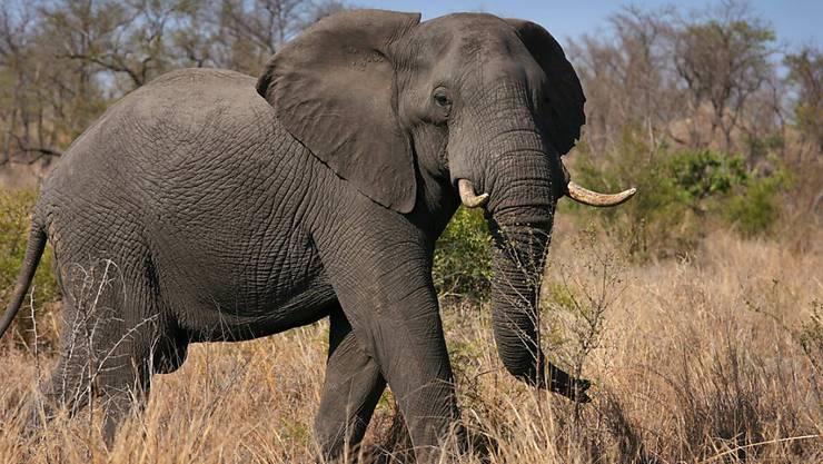 Die andauernde Dürre im afrikanischen Simbabwe hat mittlerweile zum Tod von mehr als 200 Elefanten geführt. (Symbolbild)