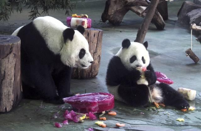 Geburtstags-Panda Yuan Zai (r.) mit Mutter Yuan Yuan im Zoo