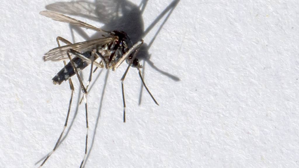 Die ursprünglich aus dem asiatischen Raum stammende Tigermücke verbreitet sich aufgrund der Klimaerwärmung zunehmend auch in Europa. (Archivbild)