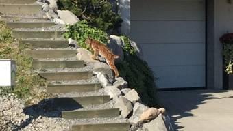In Appenzell Innerrhoden wurde eine junge Lüchsin erlegt, die unter anderem in einem Schulhof und in der Nähe von Kaninchen- und Hühnerställen gesichtet worden war.