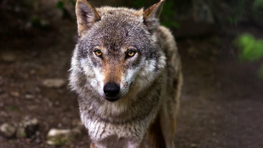Streit um das revidierte Jagdgesetz
