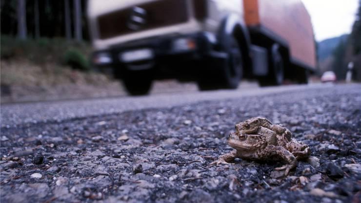 Tödliche Mission: Ein Erdkrötenpärchen will eine Strasse überqueren.