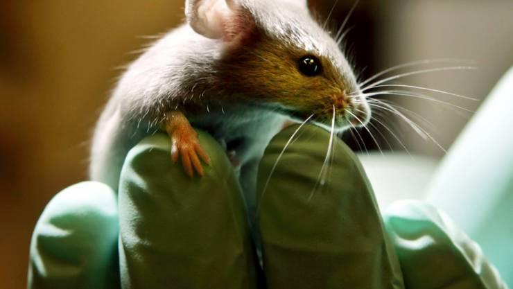 Mit einer Gentherapie konnte bei tauben Mäusen das Hörvermögen wieder geweckt werden (Archiv).