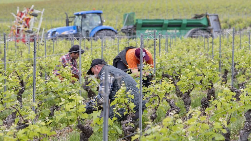 Zehn Millionen Franken sollen Schweizer Winzern durch die Krise helfen