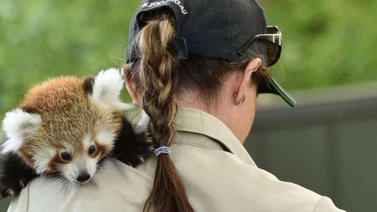 Keta, eins der beiden roten Pandababys im Zoo von Melbourne, auf dem Arm einer Betreuerin.