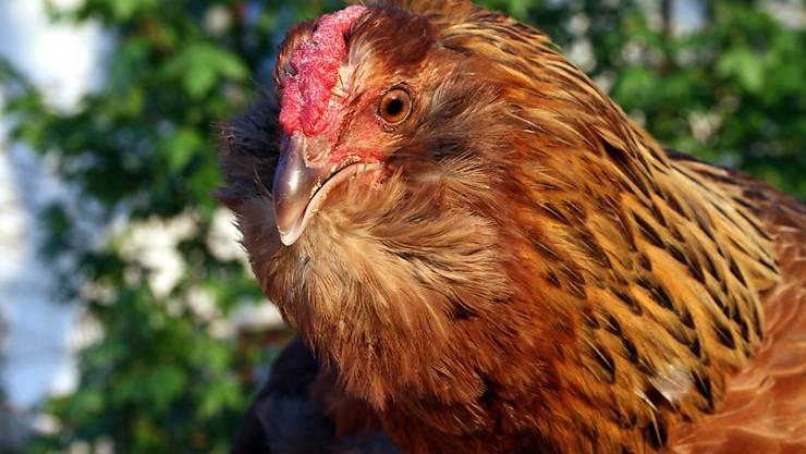 Auch die Hennen haben Bärte: Beim Appenzeller Barthuhn ist deutlich erkennbar, woher der Name kommt.