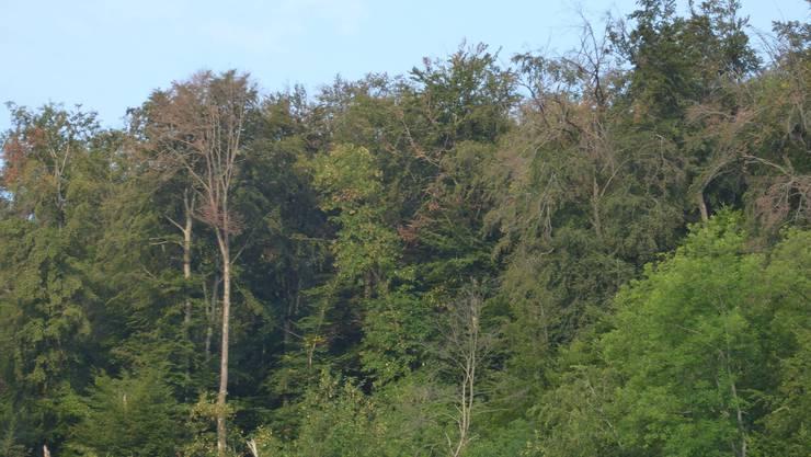 Trockene Bäume im Gebiet Metzenholden in Sissach