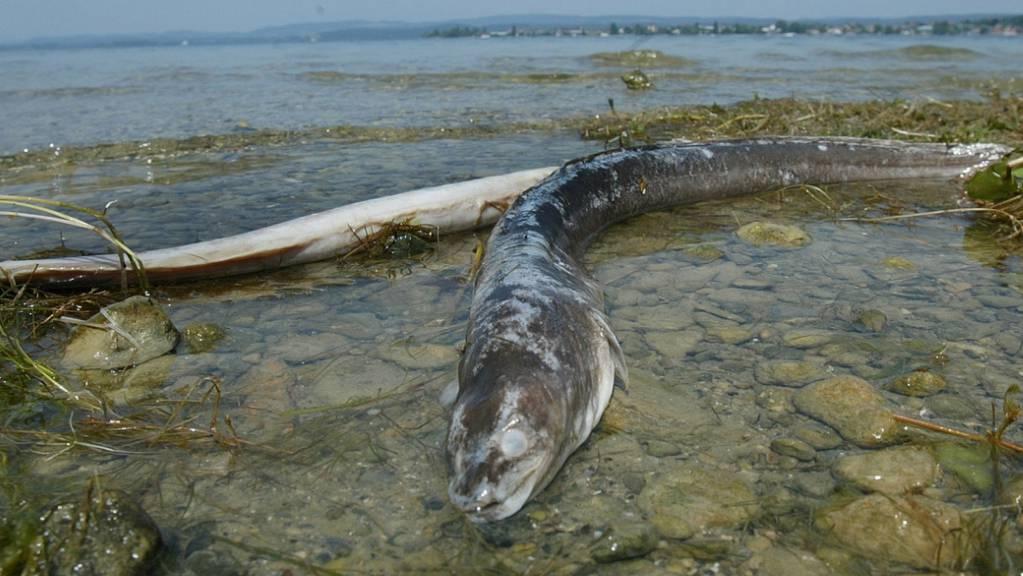 Toter Aal am Ufer des Bodensees. (Archivbild)