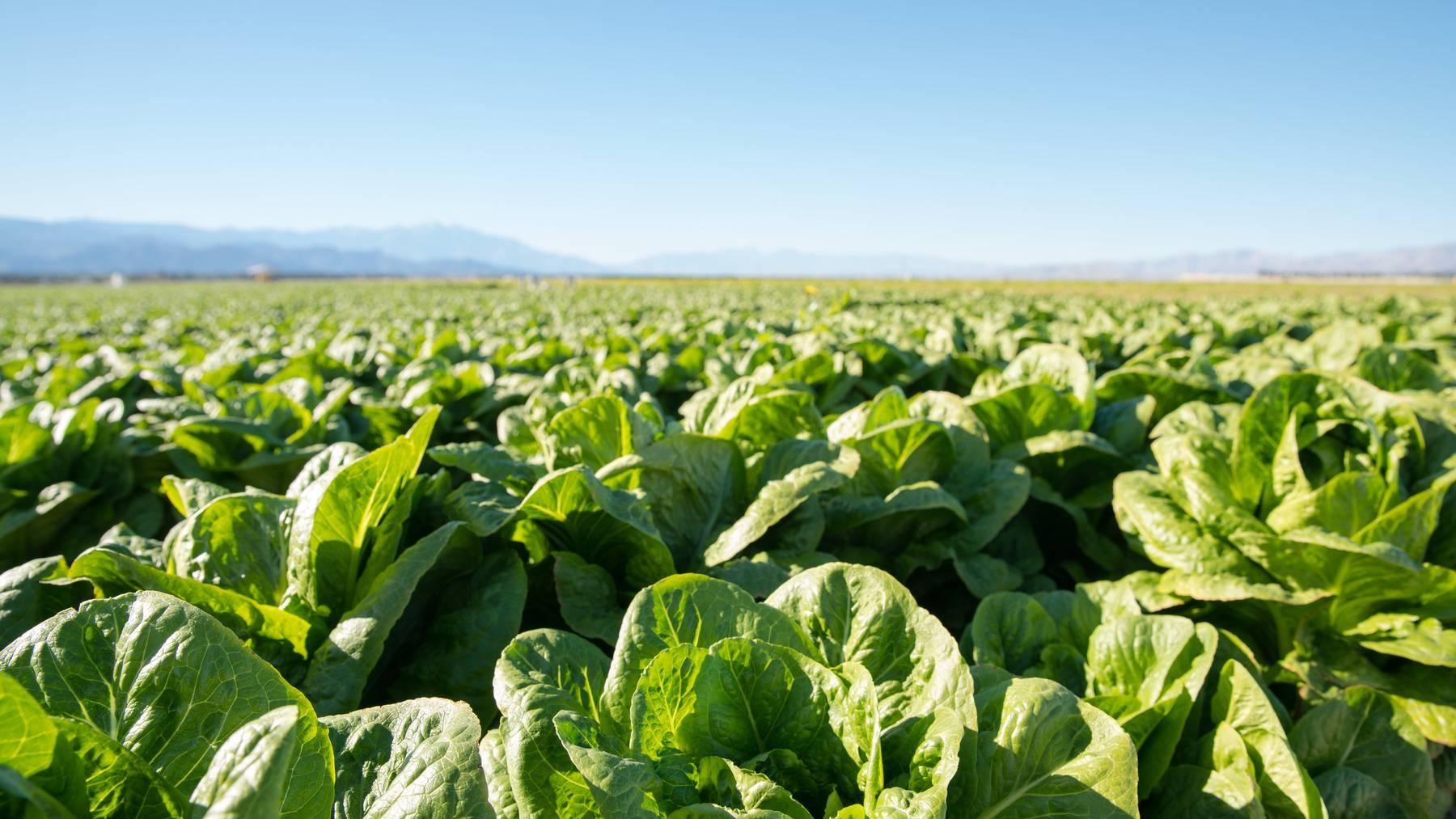 Regelmässig werden Salate und Kohlrabis geklaut.