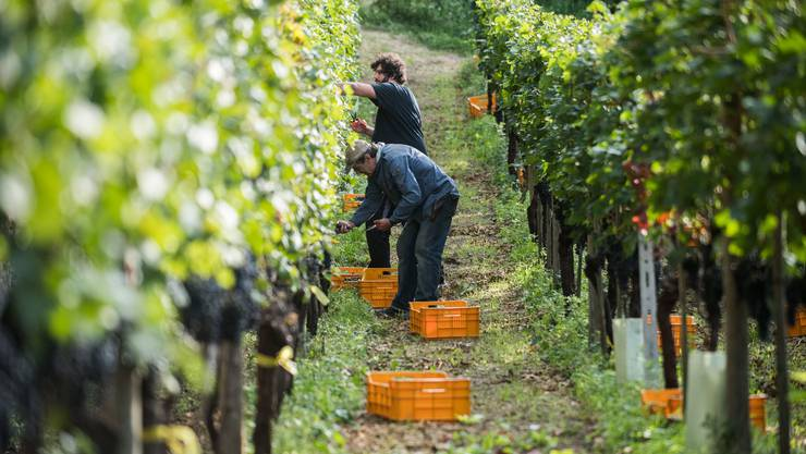 Die Weinlese wird in diesem Jahr deutlich früher sein als sonst.