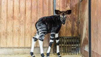 Okapi-Nachwuchs im Zoo Basel