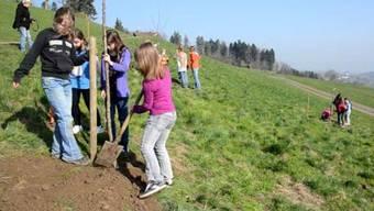 Auf dem Allmendhof in Beinwil pflanzen Schülerinnen und Schüler Hochstammbäume