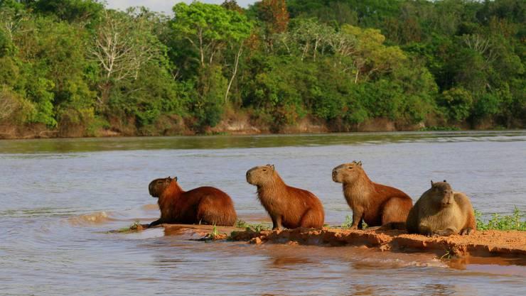 Auch Capybaras müssen Sonne tanken. Bild: Win Schumacher
