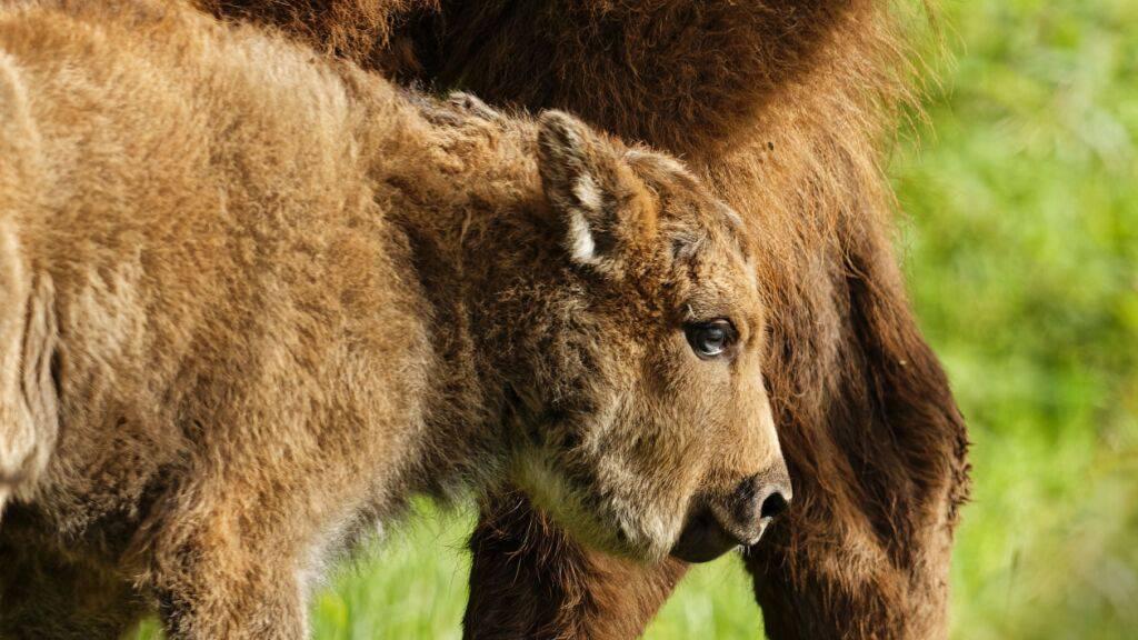 Das kleine Bisonkalb lebt in der Zuchtstation von Suchy im Kanton Waadt in Halbfreiheit. Das Jungtier wiegt bereits zwischen 20 bis 30 Kilogramm und ist laut den Projektverantwortlichen gesund und munter.