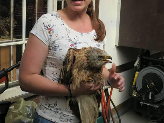 Der Rotmilan als Patient in der Greifvogelstation