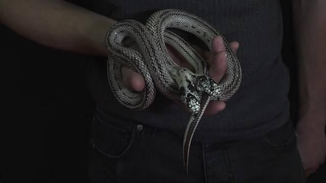 Riesige Reptilienausstellung gastiert im Kanton Waadt