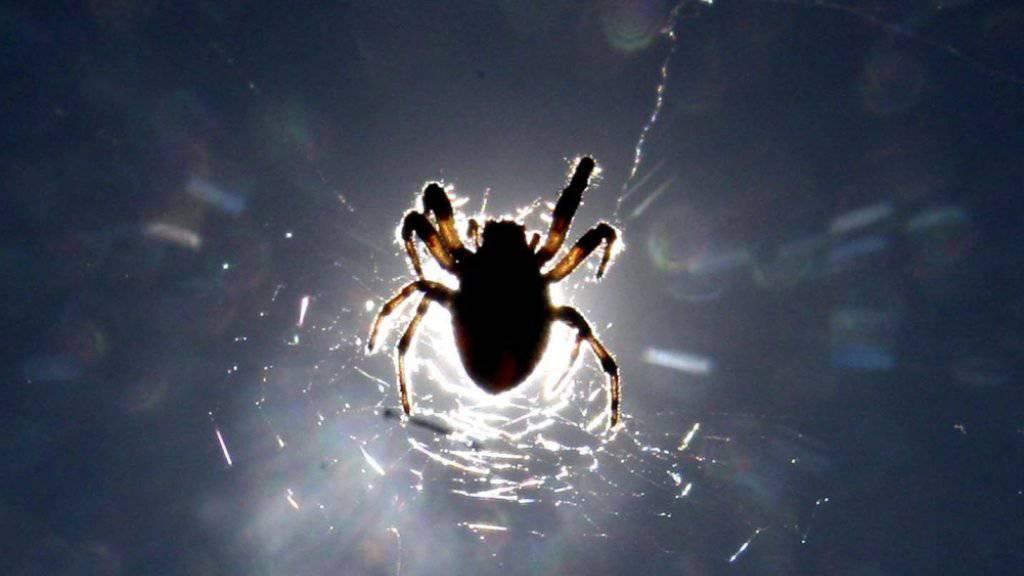 Weltweit breitet sich die «falsche Witwe» aus: Ein Biss der ursprünglich von Madeira und den Kanaren stammenden Spinnenart kann schmerzhaft sein. (Symbolbild)