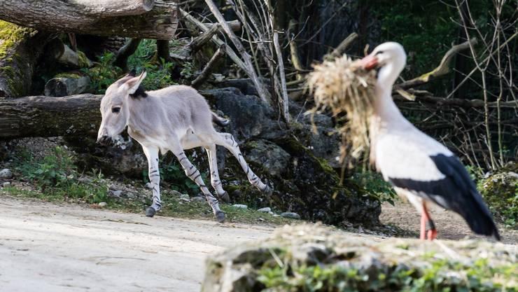 Im Zoo Basel ist ein Somali-Wildesel geboren worden.