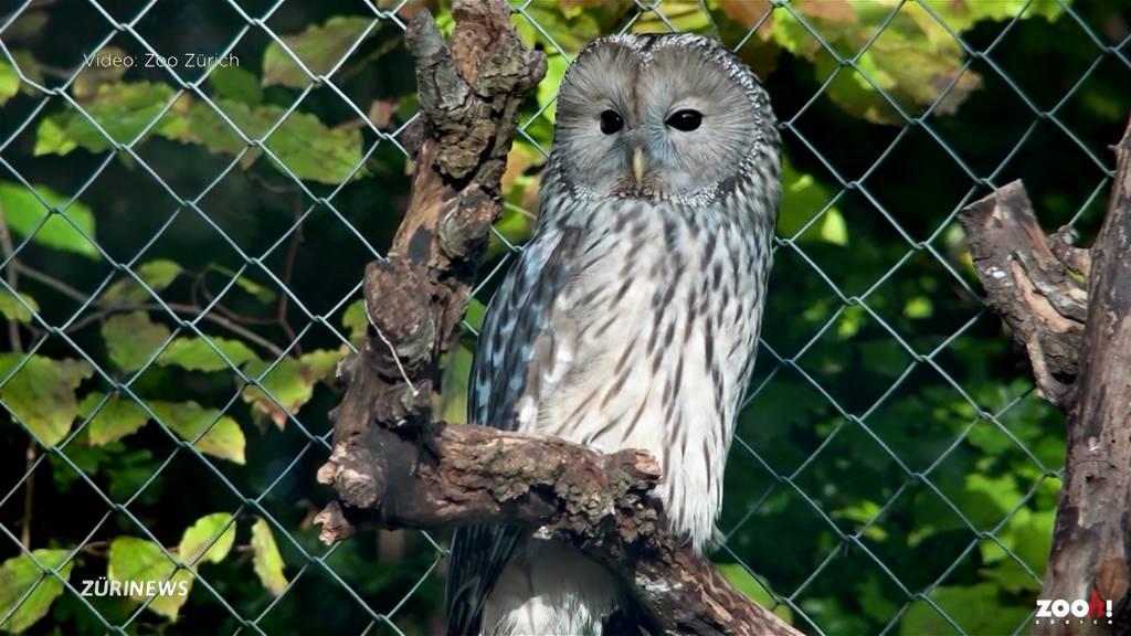 Bedrohter Habichtskauz: Zoo Zürich beteiligt sich am Schutzprogramm