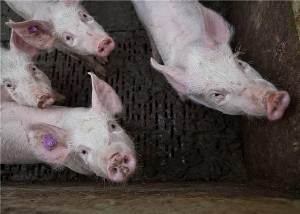 Schweine auf dem Hof von Peter Hochuli